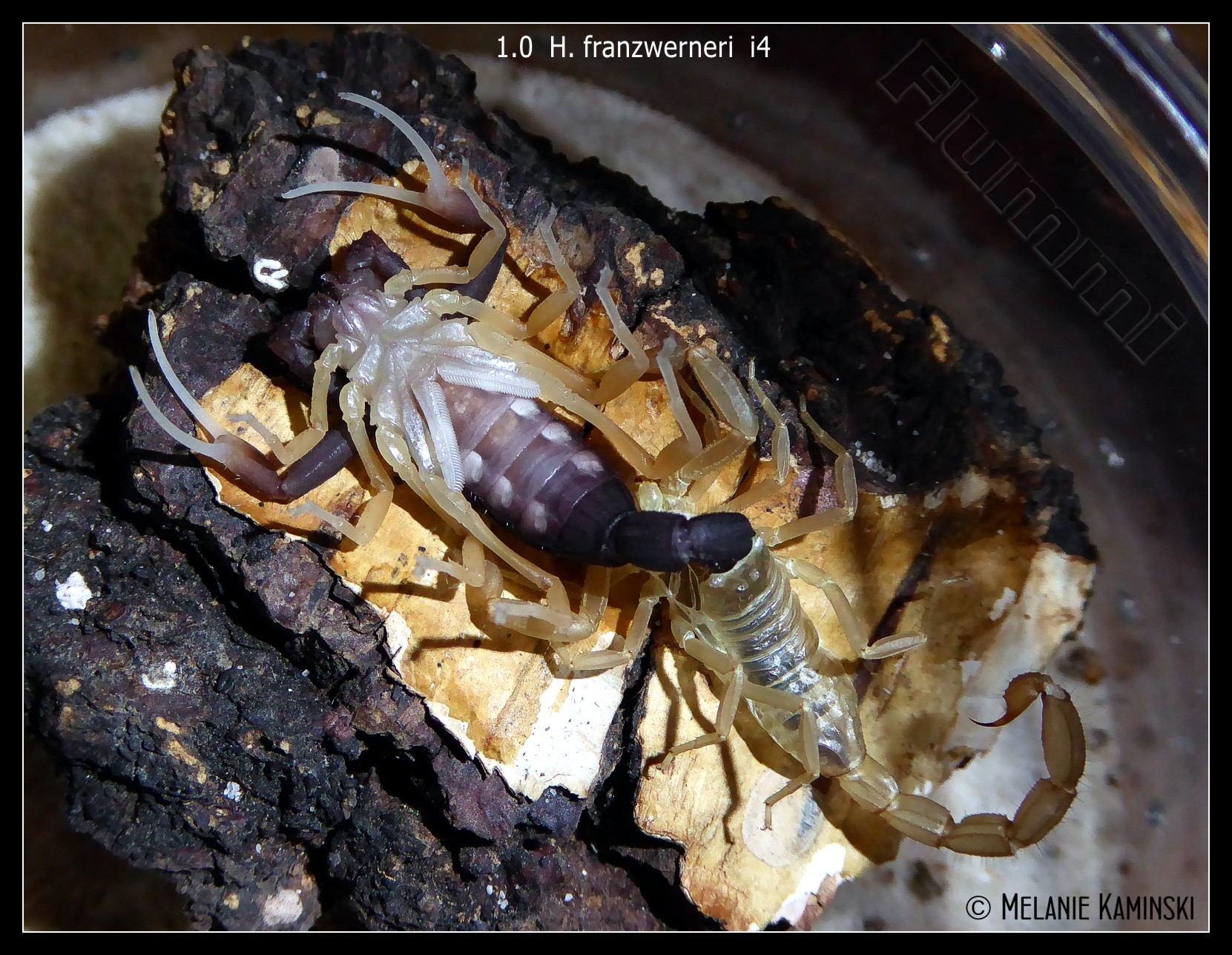 Who molted today? (Scorpion molting pics) - Page 4 Dm2o0g