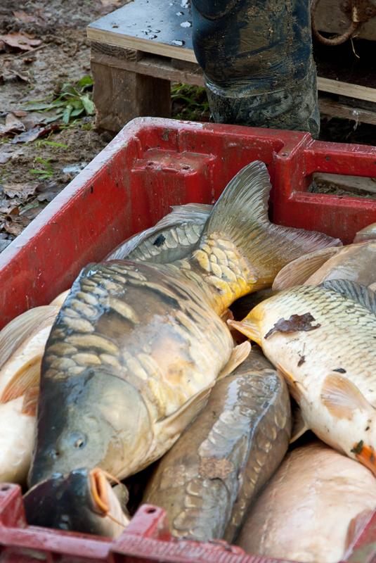 Une pêche d'étang en Sologne Gvxhgs