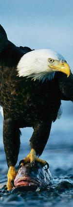 NPC Eagle