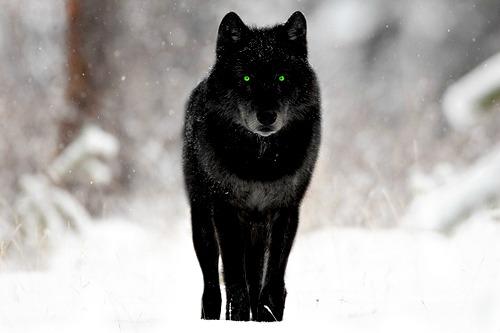 Wolf Information - Alpha Teren 05um