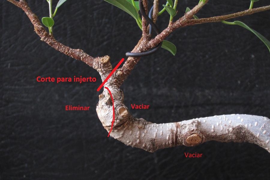 Ayuda con diseño de Ficus  UEdxh9