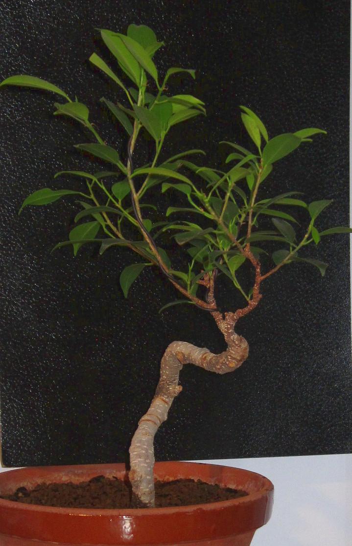 Ayuda con diseño de Ficus  6Tcp78