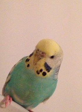 J'ai secouru une perruche aujourd'hui besoin de conseils!!! 9Q9pDk