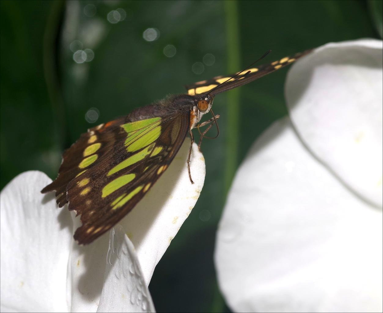 Papillons en Fêtes 2018 K2Xj62