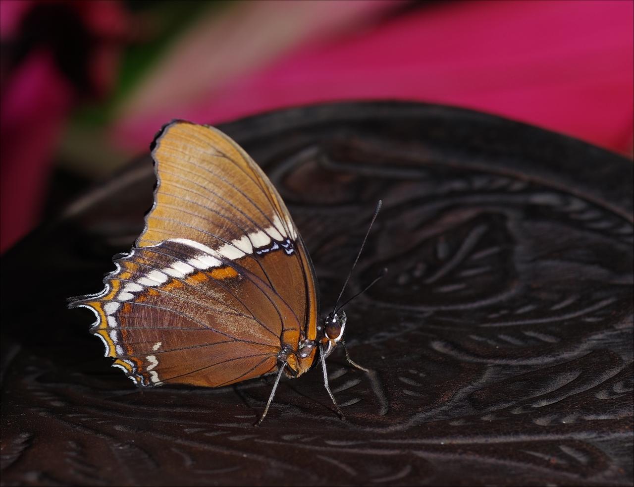 Papillons en Fêtes 2018 ZFPi70