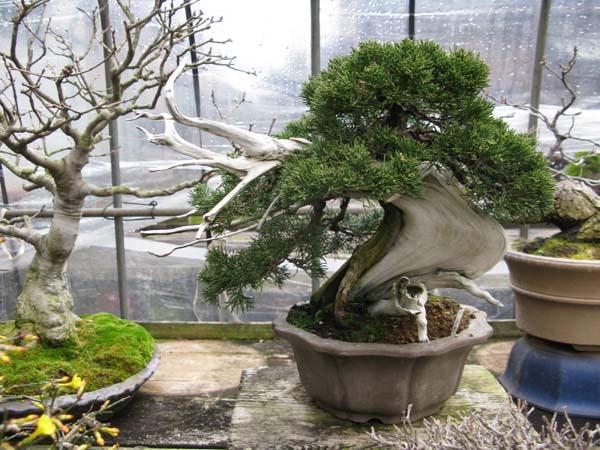 Centro bonsai tenerife en JAPÓN 2009-2010, IIIª Parte 102gvg
