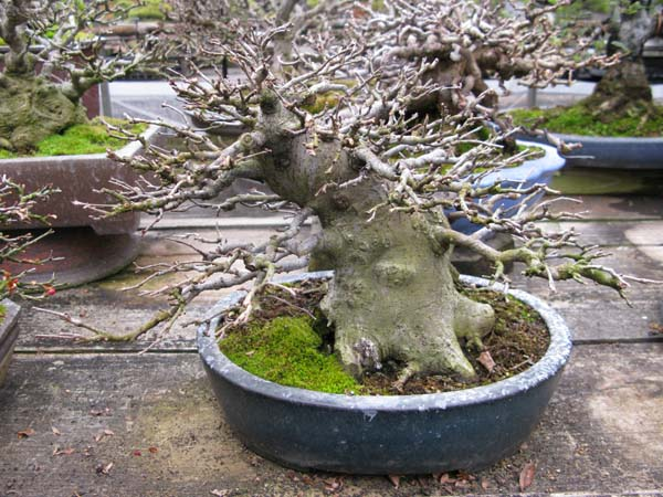 Centro bonsai tenerife en JAPÓN 2009-2010, IIIª Parte 110jl