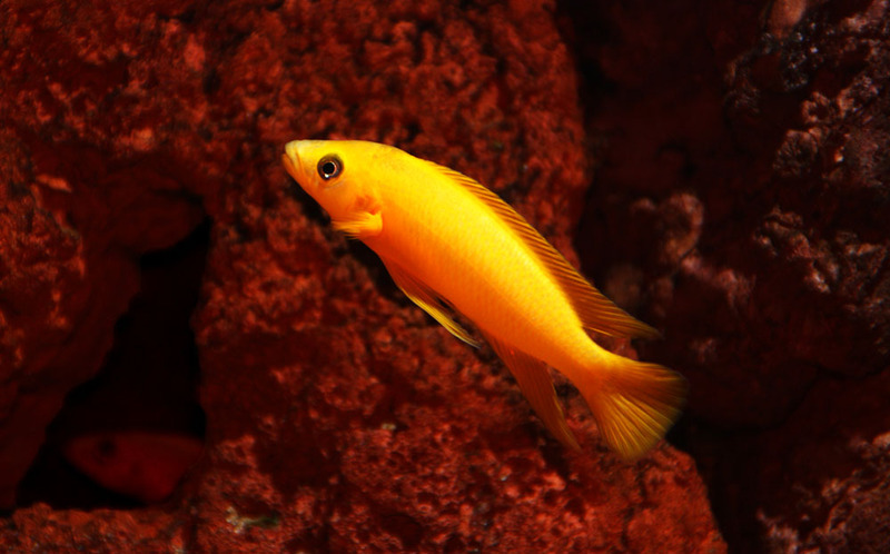Neolamprologus leleupi Leleupi3