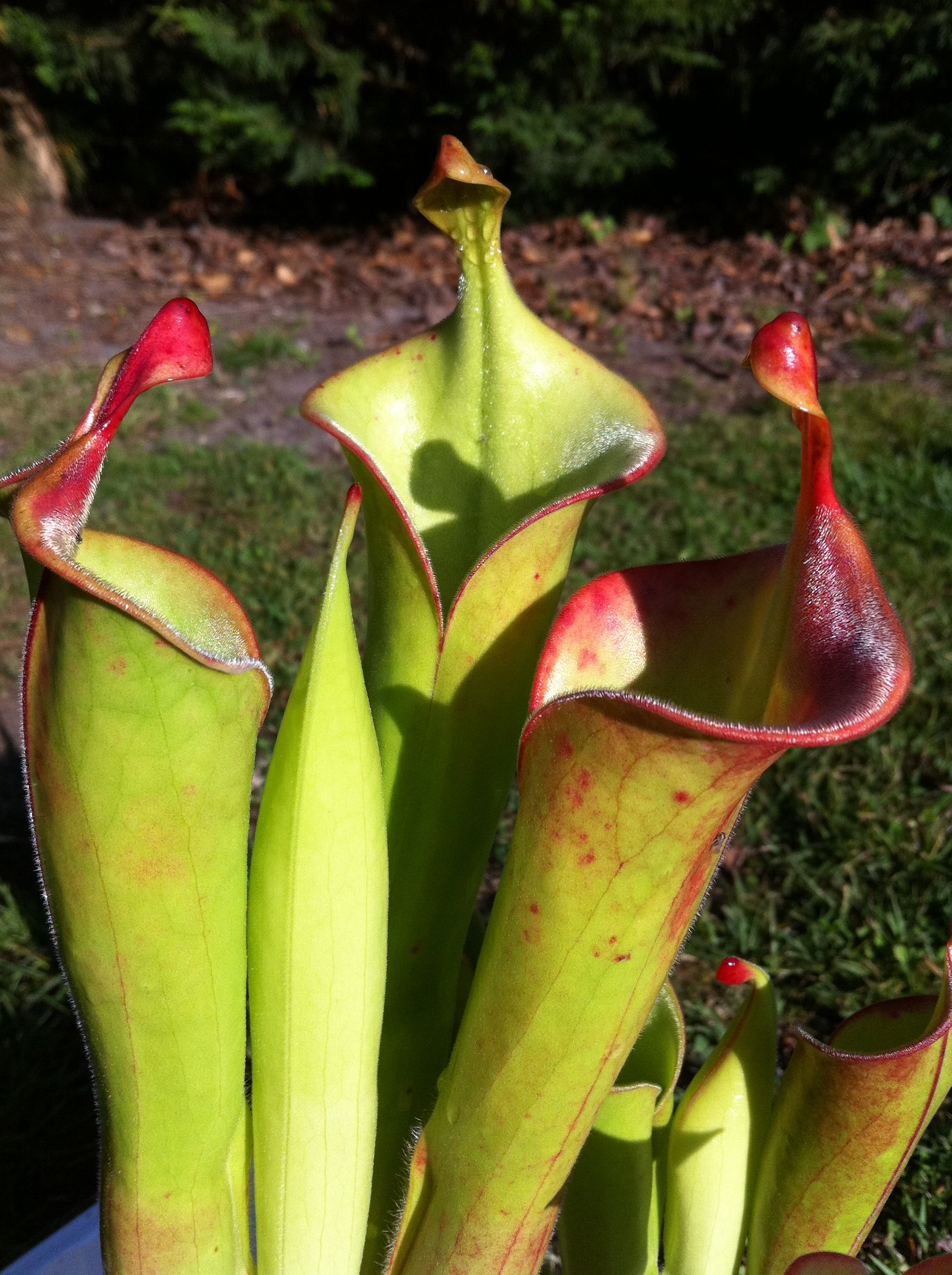 heliamphora (photos) 738c