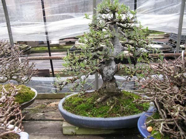 Centro bonsai tenerife en JAPÓN 2009-2010, IIIª Parte 112lo
