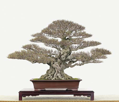 bonsai naturalista? P77d0