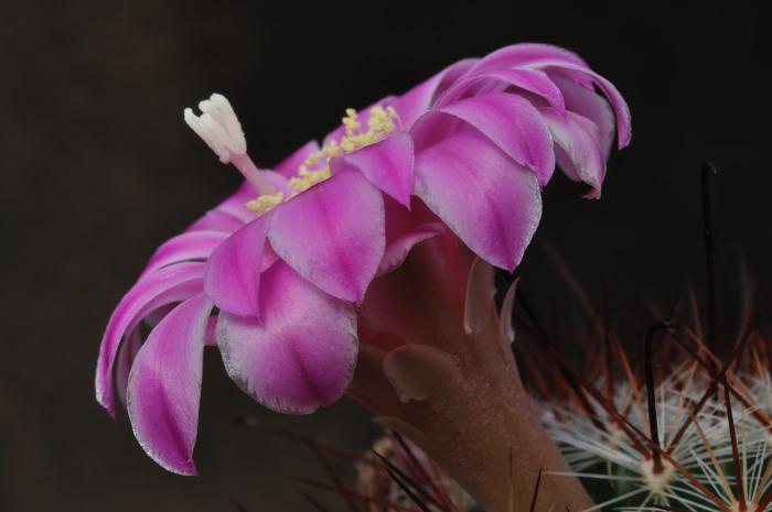 Mammillaria longiflora Dsc2324125