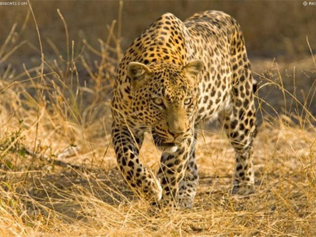 صور حيوانات - صور حيوانات مضحكة - صور حيوانات أليفة  Feline5