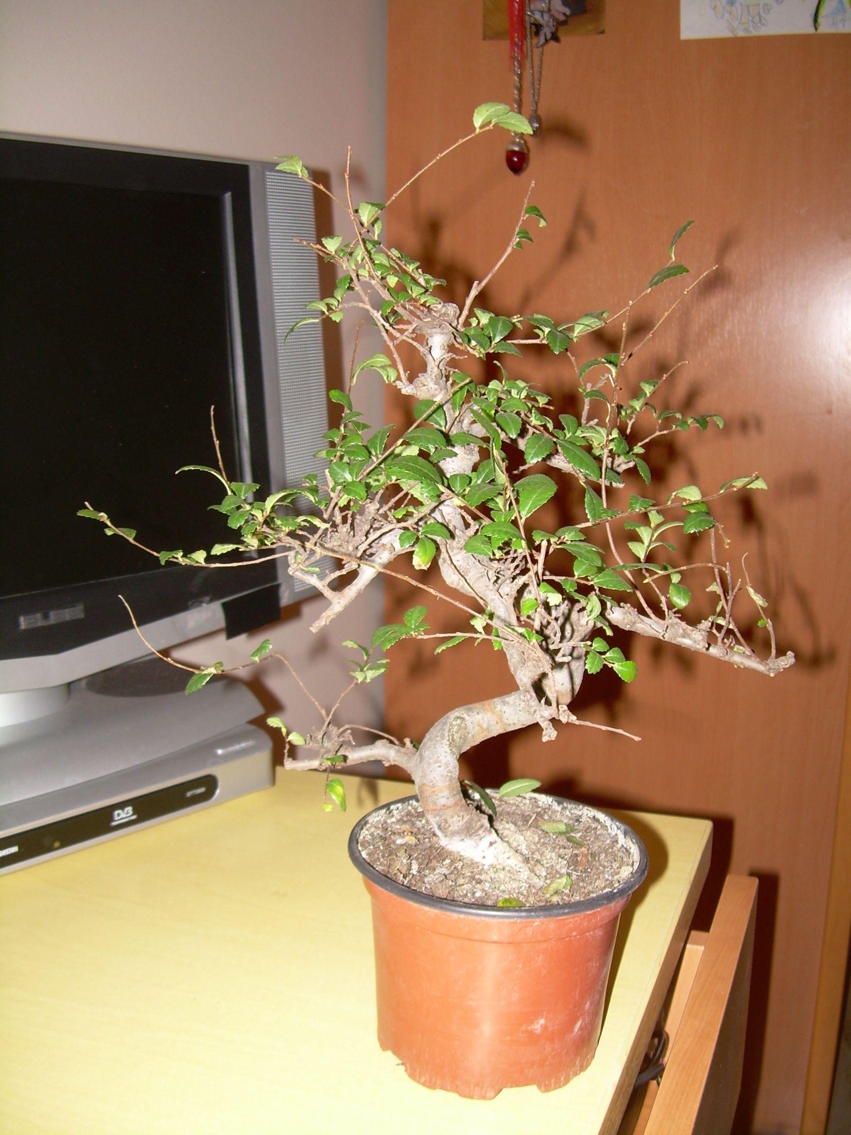 Mi primer bonsaiii Dscn2920h