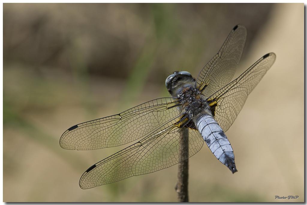 Photos de la Rencontre Macro Papillons & Libellules du Sud 2011 (21 & 22 Mai) - Page 23 Jp059801024