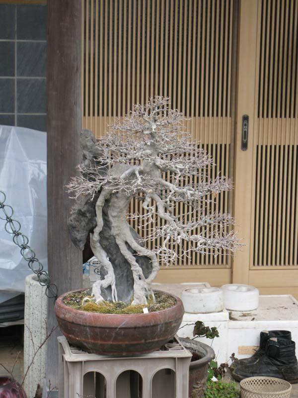 Centro bonsai tenerife en JAPÓN 2009-2010, IIIª Parte 118a