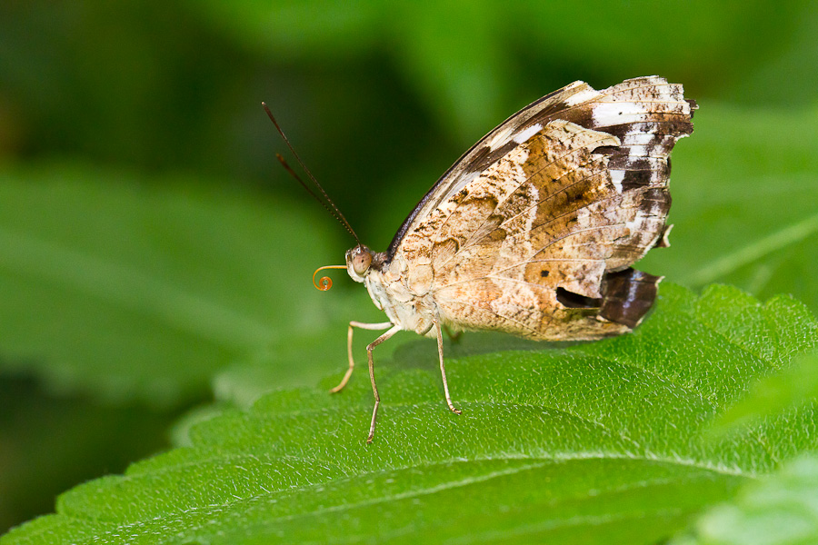 Sortie au Jardin des Papillons de Grevenmacher le 03 Avril 2011 : Les photos - Page 2 Mg3544201104037d