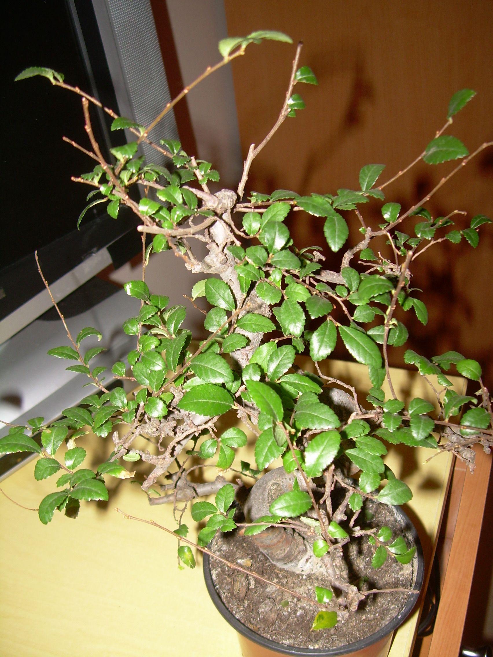 Mi primer bonsaiii Dscn2925b