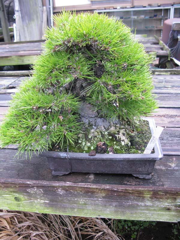 Centro bonsai tenerife en JAPÓN 2009-2010, IIIª Parte 117mw