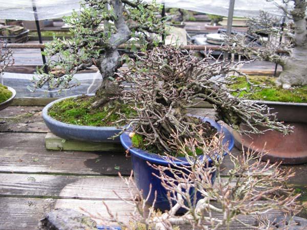 Centro bonsai tenerife en JAPÓN 2009-2010, IIIª Parte 111lu