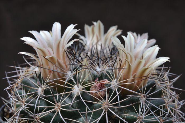 Mammillaria melanocentra Dsc2067c