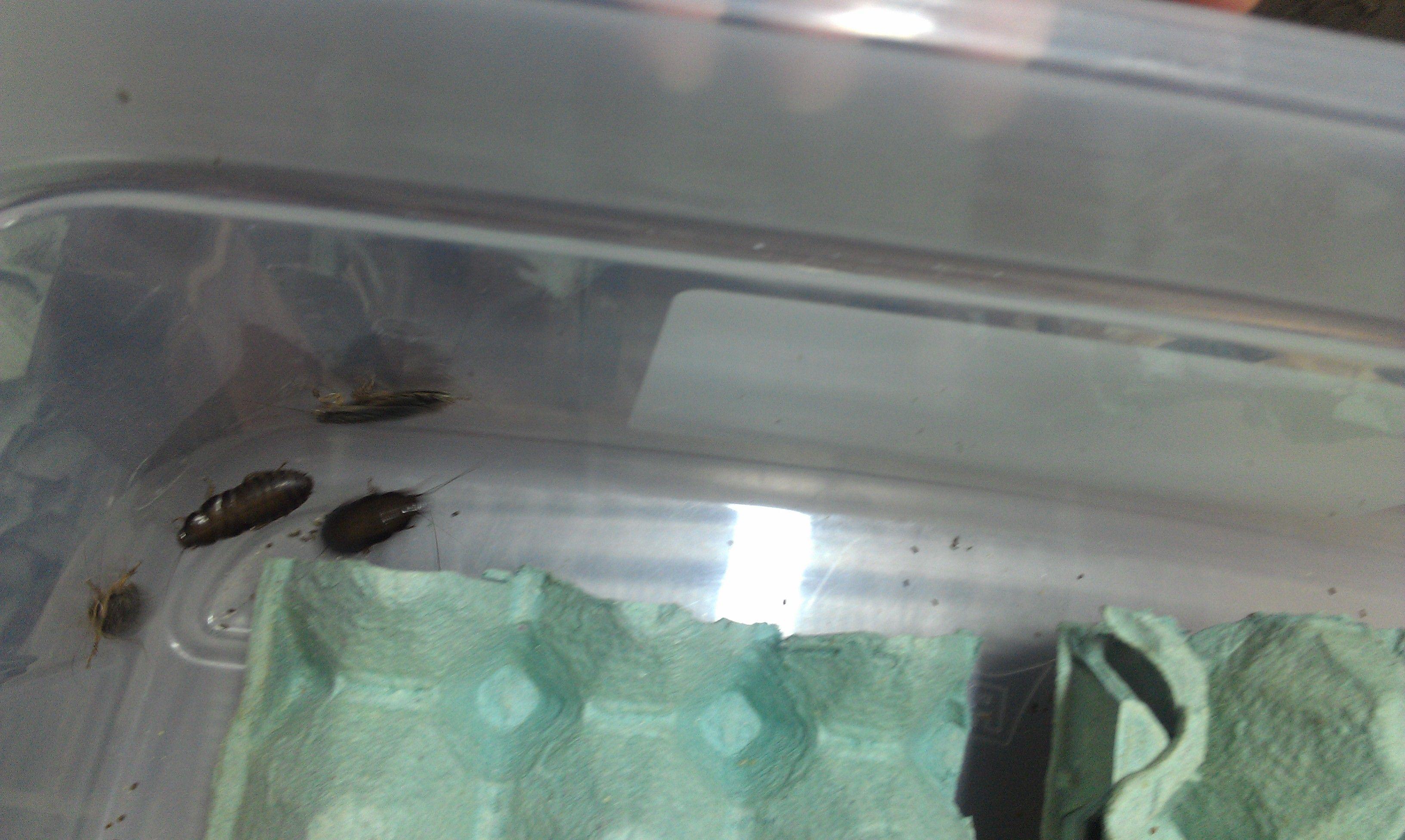 Cría y reproducción de cucarachas.....si!! cucarachas!!!! Zse3