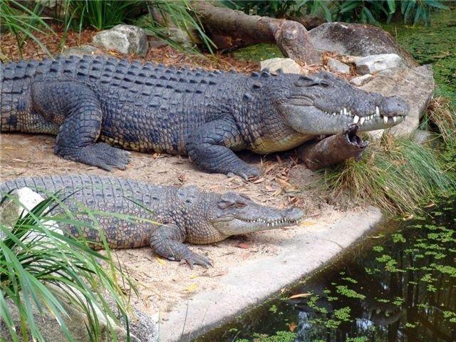 Krokodili - Page 3 H1zr8t