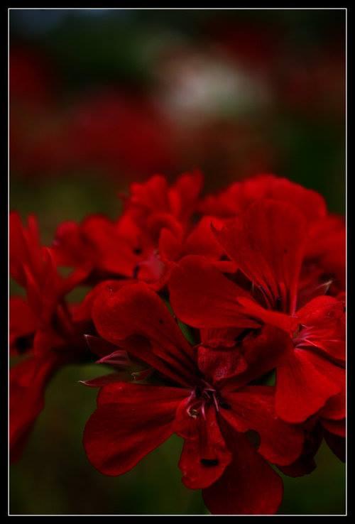 Crveno cveće - Page 5 V071NR