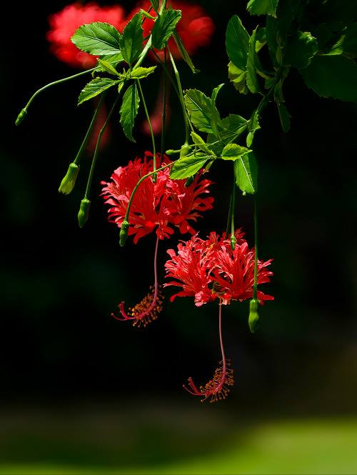 Crveno cveće - Page 5 HSzWX4