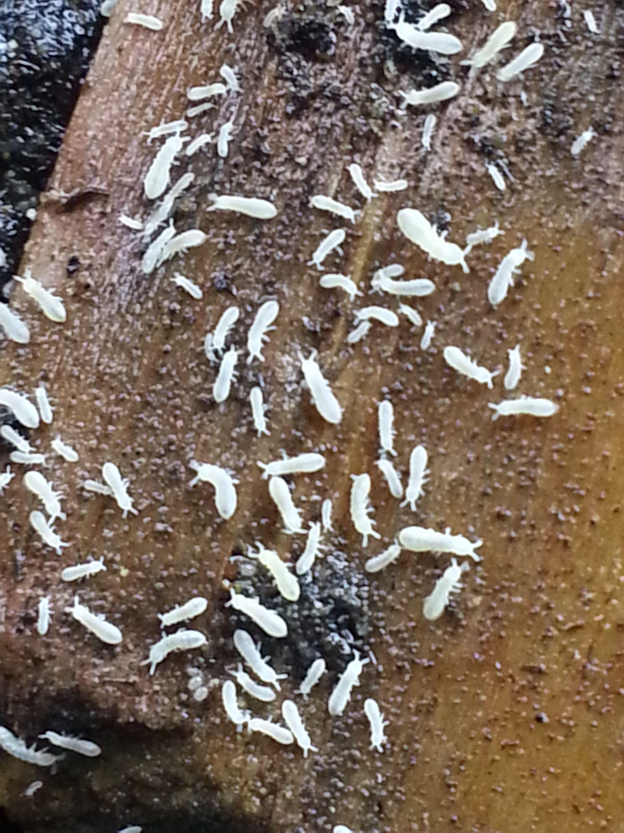 Cría y reproducción de cucarachas.....si!! cucarachas!!!! Pcnt