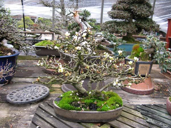 Centro bonsai tenerife en JAPÓN 2009-2010, IIIª Parte 113rr