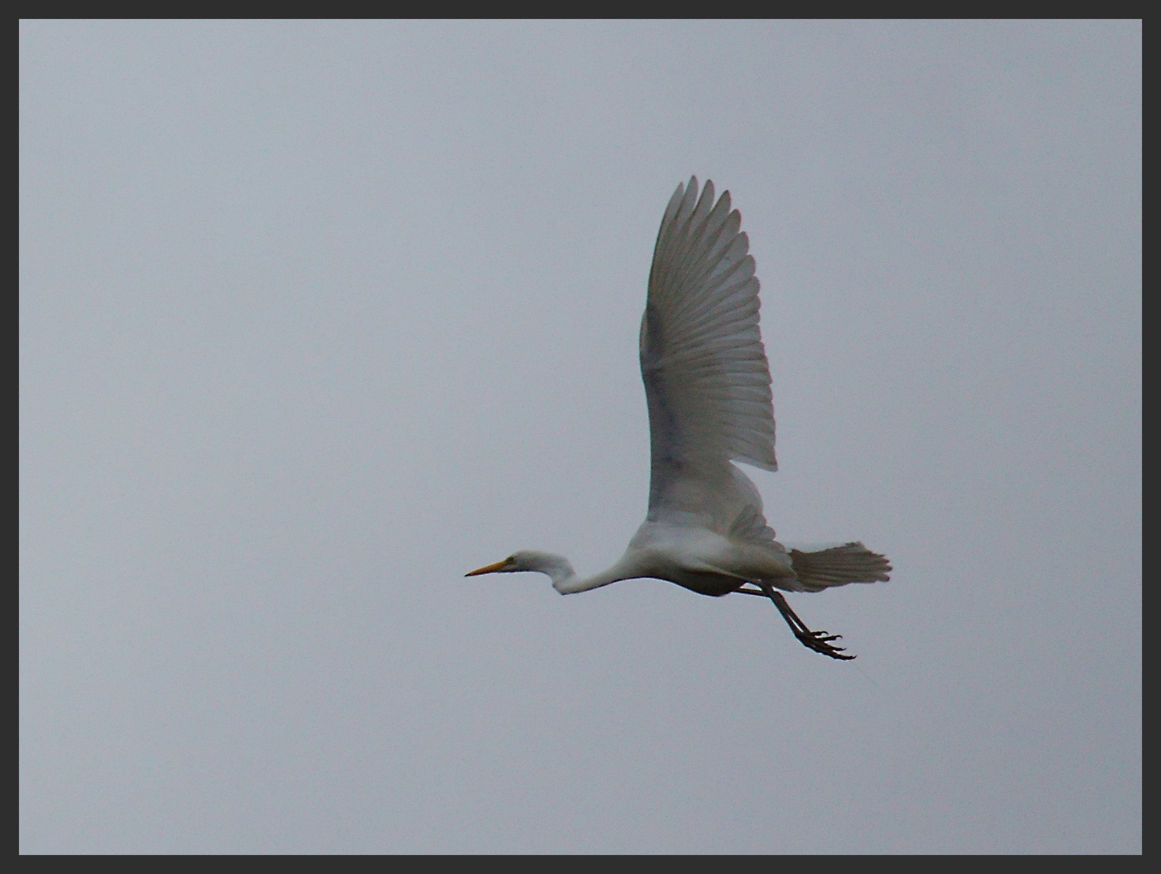 Grande aigrette (+1) 069copie