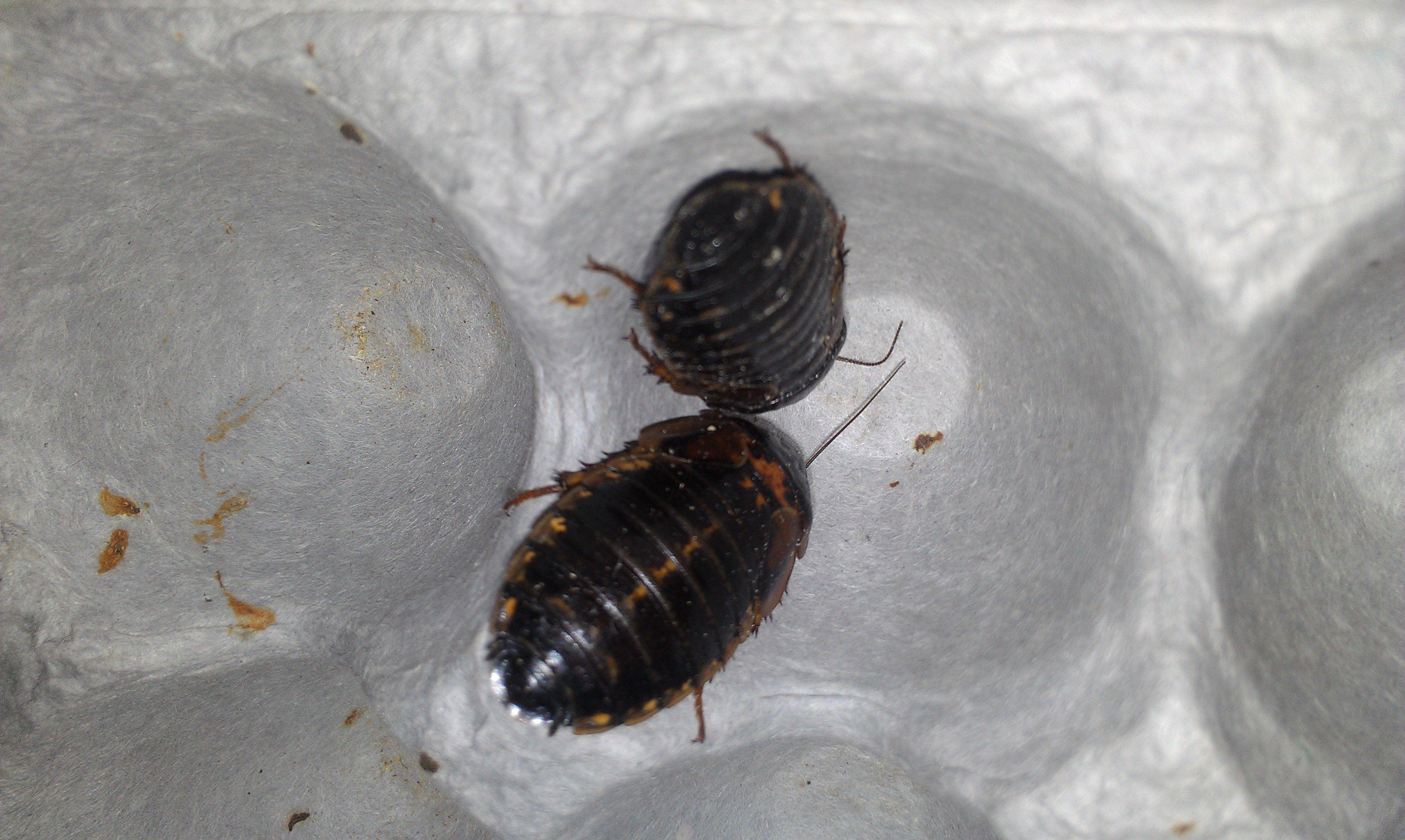 Cría y reproducción de cucarachas.....si!! cucarachas!!!! Jt5r