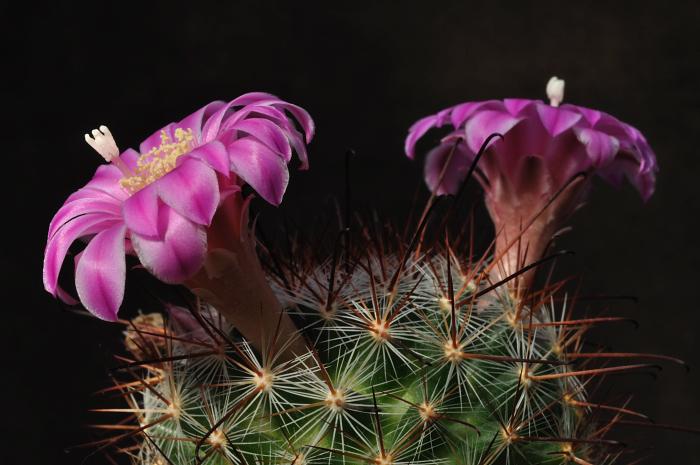 Mammillaria longiflora Dsc2325124