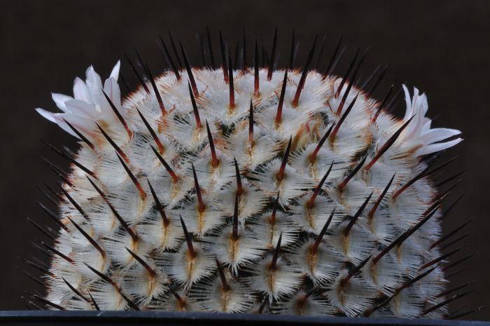 M perezdelarosae ssp andersonii Dsc1559k