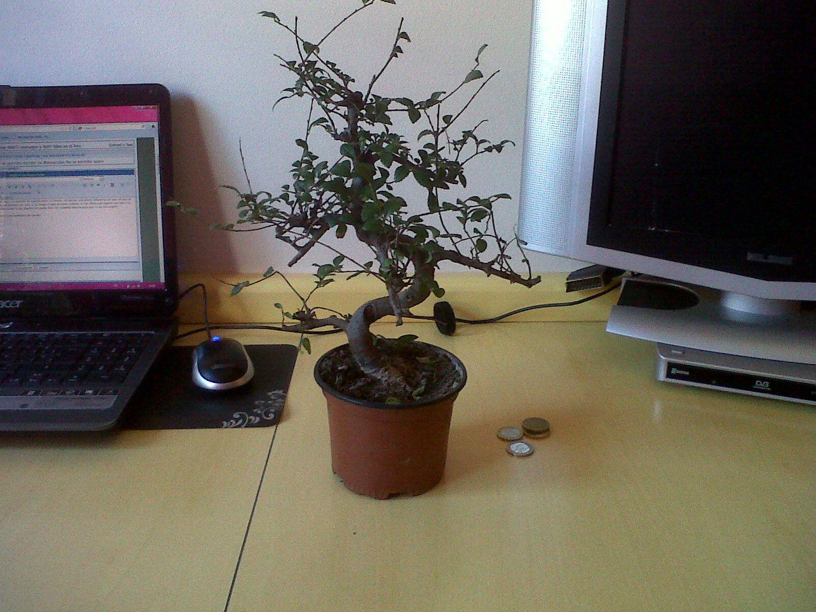 Mi primer bonsaiii Img00273201203061158