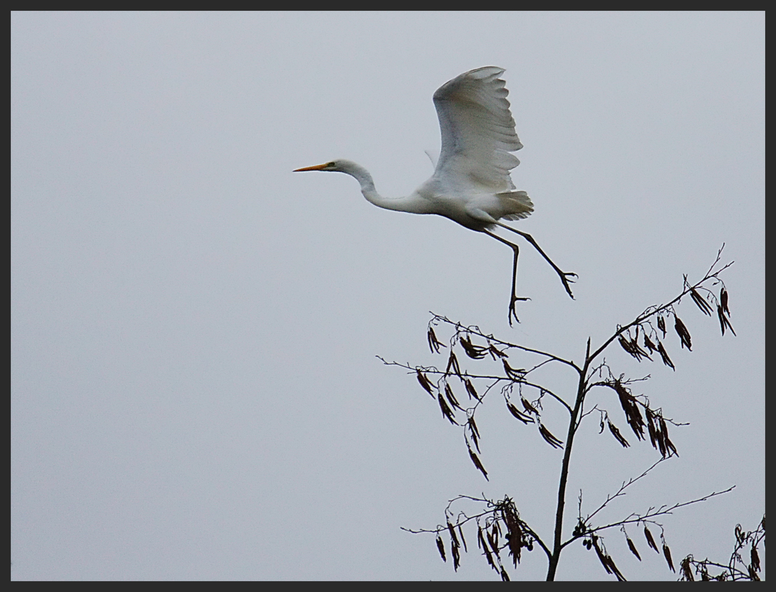 Grande aigrette (+1) 068copie