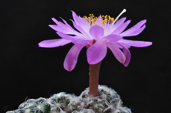 Mammillaria haudeana Dsc3228hf