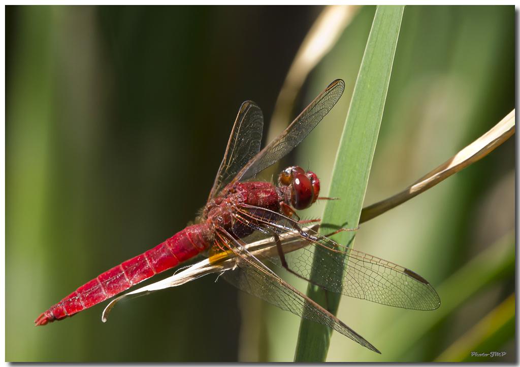 Photos de la Rencontre Macro Papillons & Libellules du Sud 2011 (21 & 22 Mai) - Page 23 Jp060471024