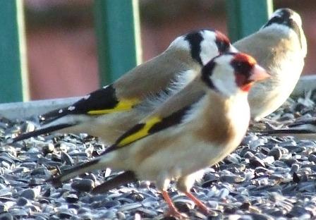 Prihranjivanje ptica u toku zime 55751212