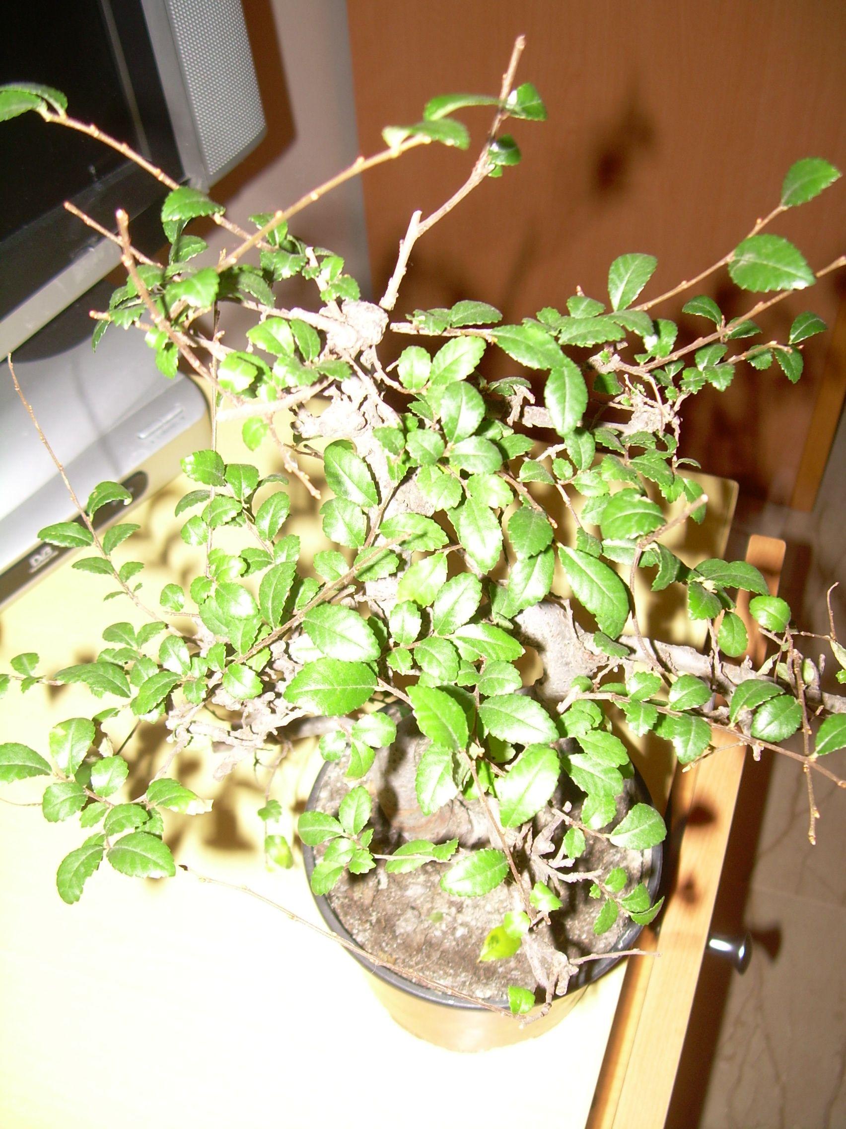 Mi primer bonsaiii Dscn2926s