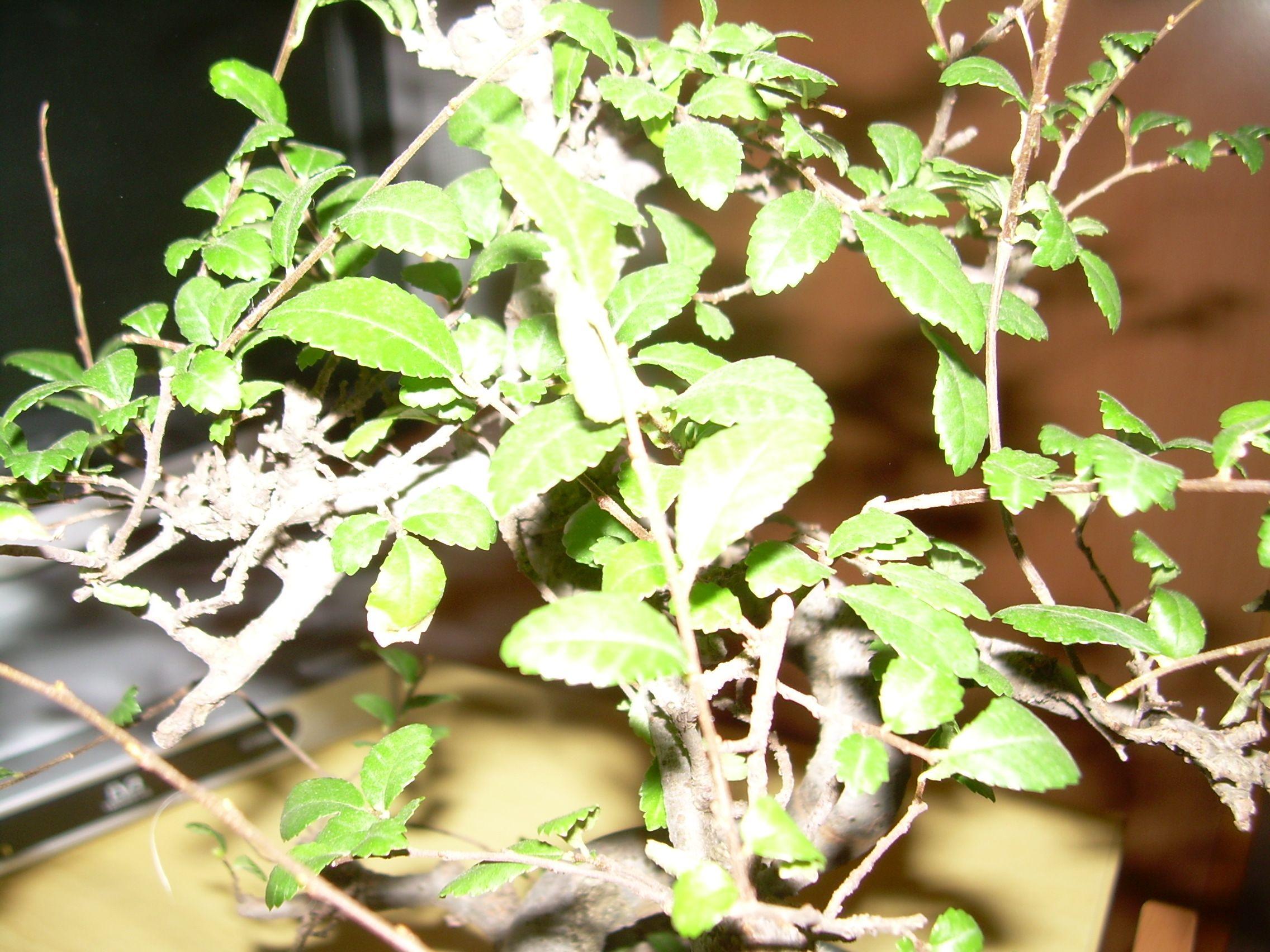 Mi primer bonsaiii Dscn2921z