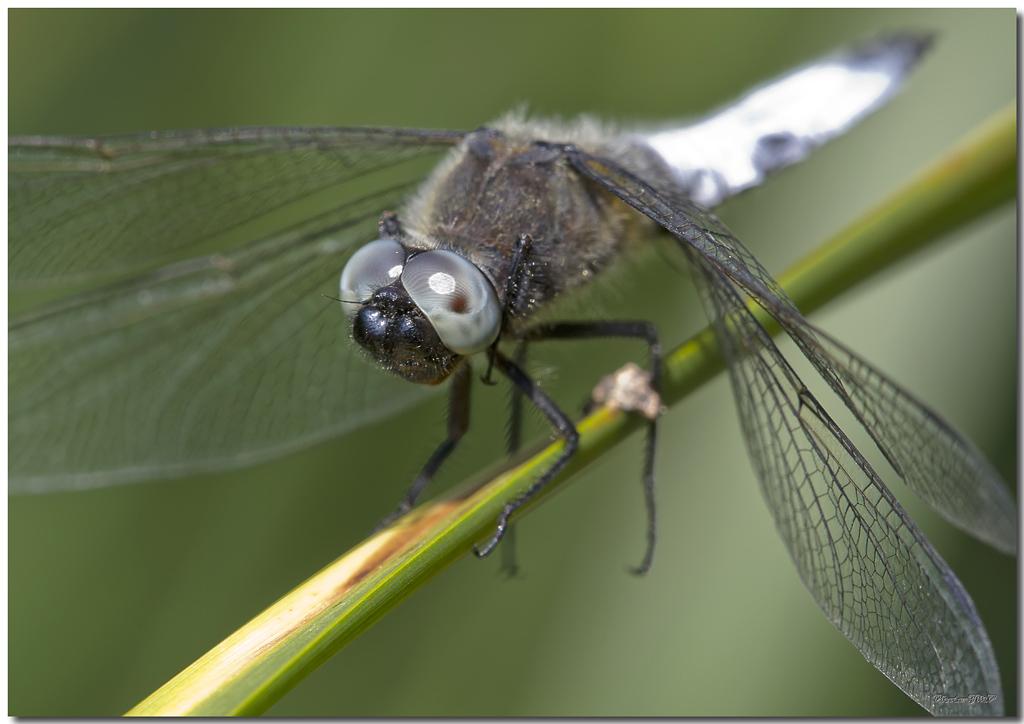 Photos de la Rencontre Macro Papillons & Libellules du Sud 2011 (21 & 22 Mai) - Page 23 Jp060331024