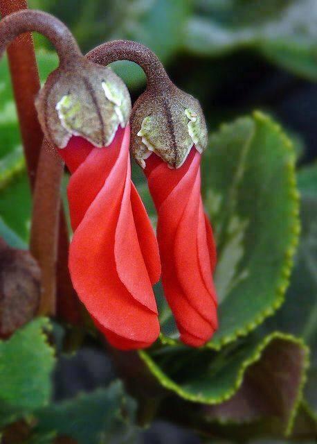 Crveno cveće - Page 5 LAQIB4