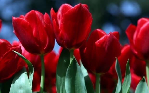 Crveno cveće - Page 5 VdXLYE