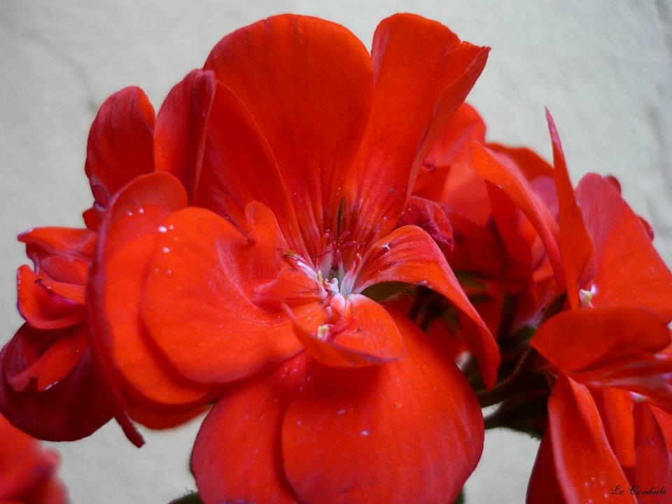 Crveno cveće - Page 4 MCtcQi