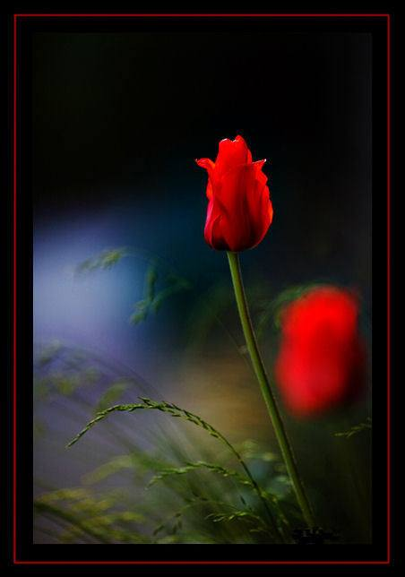Crveno cveće - Page 5 67j8VZ