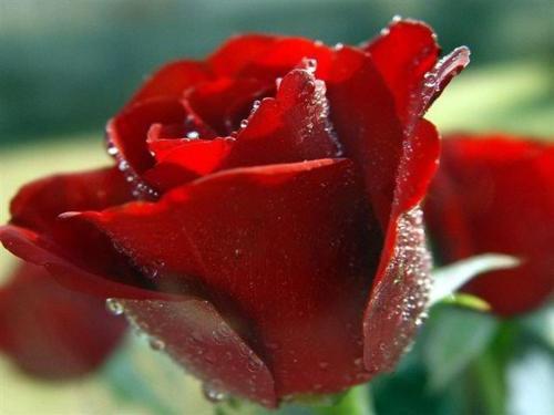 Crveno cveće - Page 4 DQfgqX