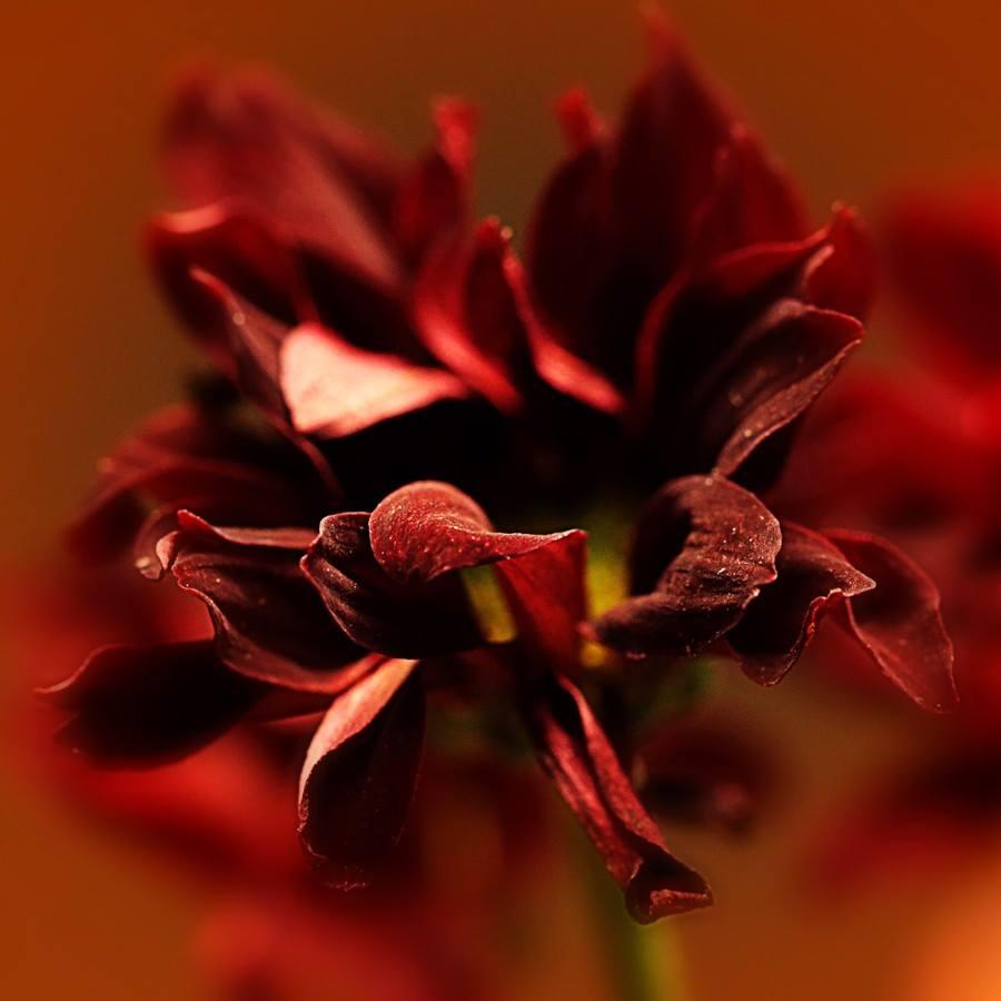 Crveno cveće - Page 5 RrcT3D
