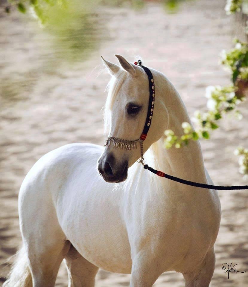 Najlepši konji na svetu - Page 5 NKk3rT